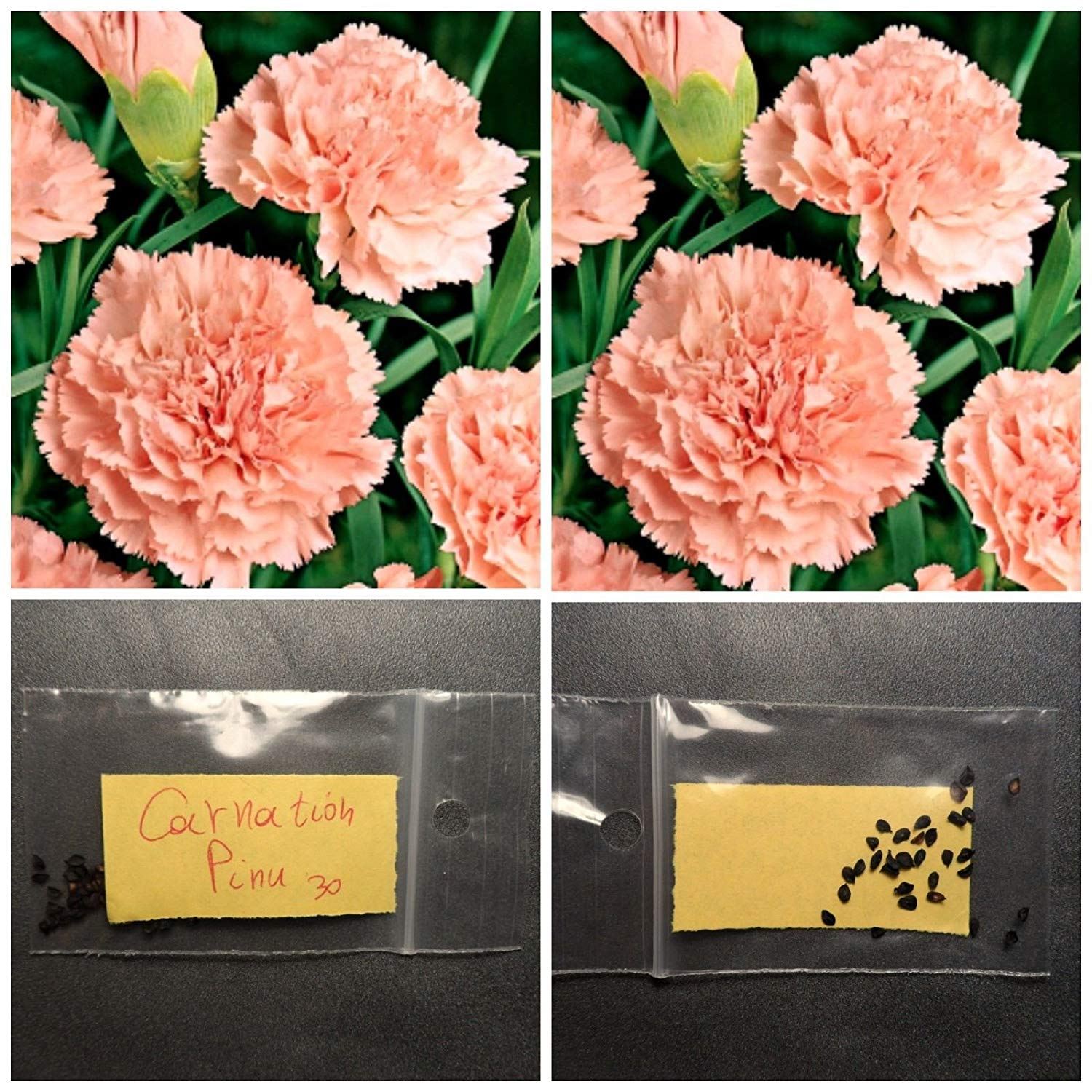 Pink Carnation Flower Seeds ~30 Top Quality Seeds - Colorful Garden - Easy Grow