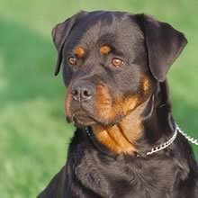 Rottweiler Puppies Wholesale Puppies Suppliers Alibaba