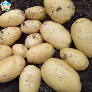 Healthy large 2018 fresh potato importers in dubai europe