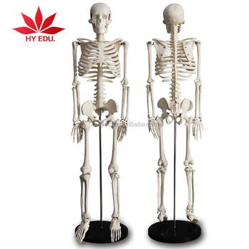 direct factory sale as doctor gift 85cm skeleton model plastic, Skeleton