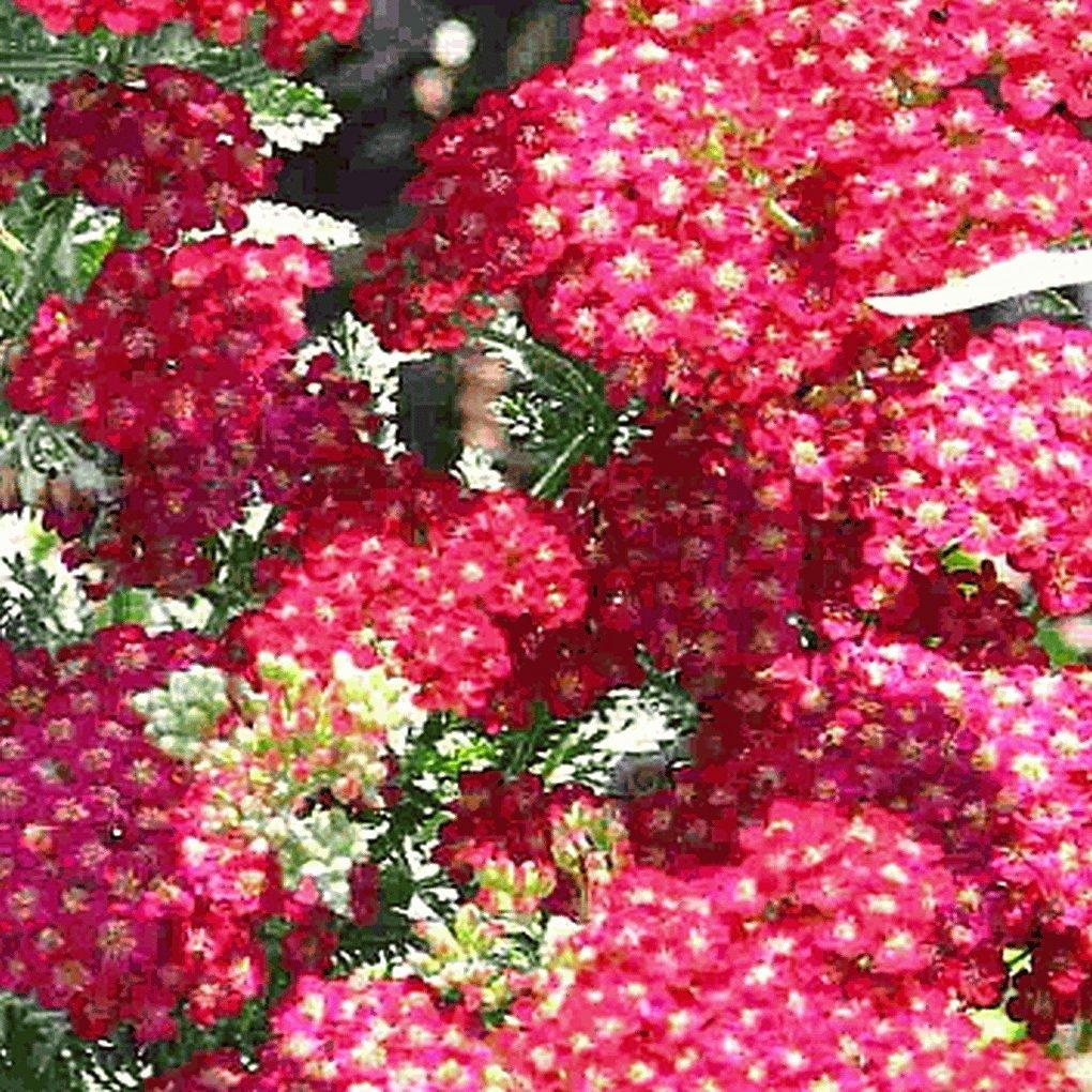 Everwilde Farms - 2000 Red Yarrow Wildflower Seeds - Gold Vault Jumbo Seed Packet