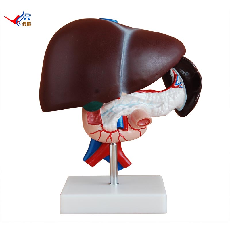 Liver Pancreas And Duodenum Model Liver Pancreas And Duodenum Model