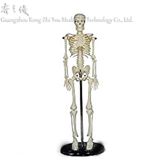 R020928 45cm Human Skeleton Model on Plastic Base