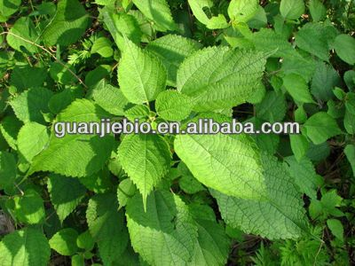 High Quality 100% Natural stinging nettle root extract
