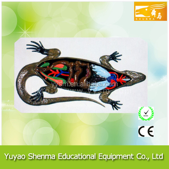Animal Anatomical Model For Since Professional Manufacturer Lizard ...