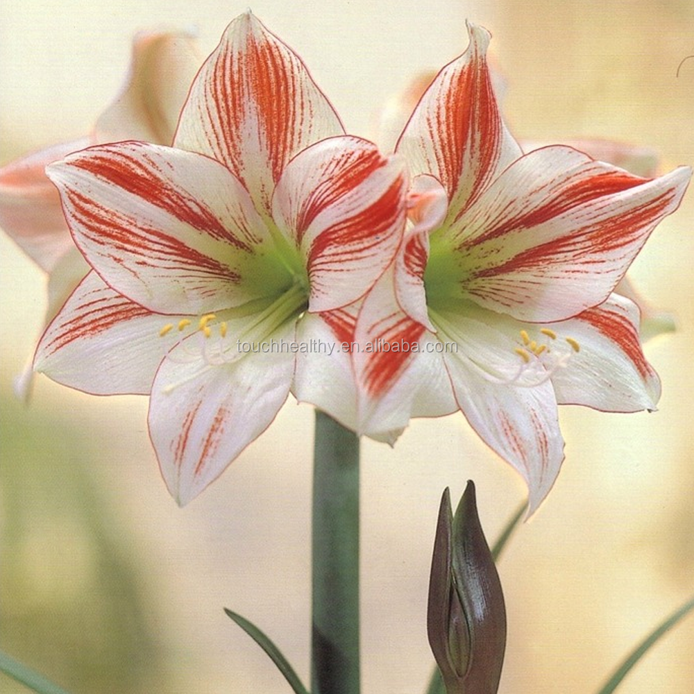 China flower bulbs for sale china flower bulbs for sale china flower bulbs for sale china flower bulbs for sale manufacturers and suppliers on alibaba izmirmasajfo