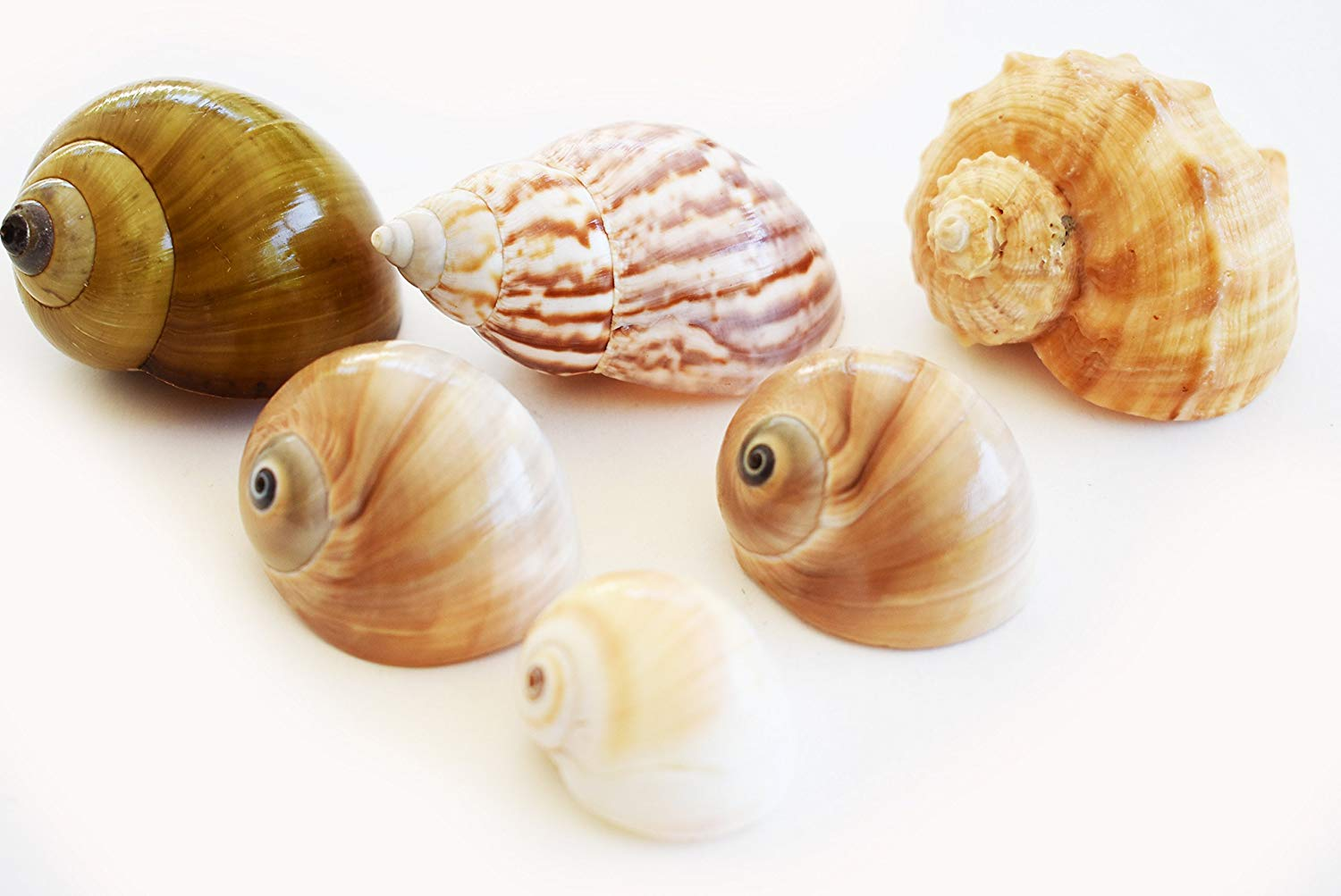 """Florida Shells and Gifts Inc. 6 Medium to Large Shell Hermit Crab Changing Set - Select Shells - 3/4""""-1 1/2""""+ opening - Land Snail, Moon and Conch Shells"""