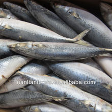 new coming 400-600g mackerel frozen fish seller