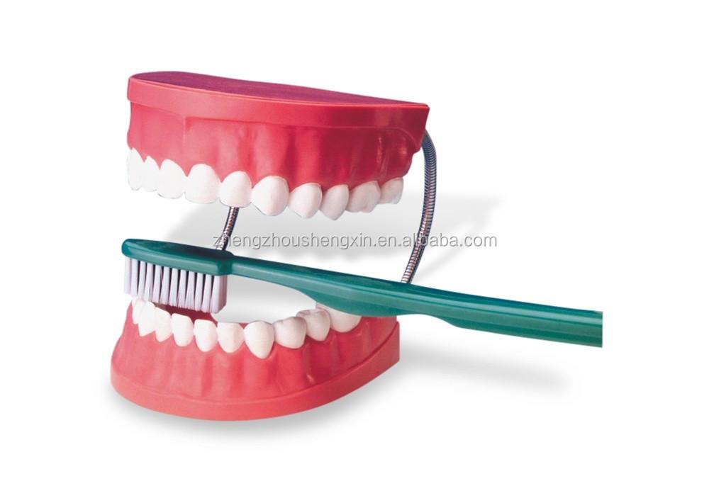 Dientes De Plástico Anatómica Dental/modelo/los Dientes De Modelo ...
