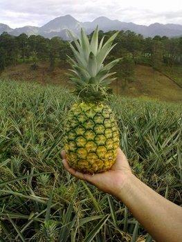 Hasil carian imej untuk md2 pineapple