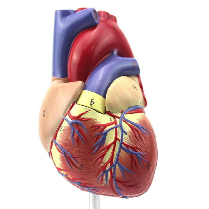 Cheap Anatomy Circulatory, find Anatomy Circulatory deals on line at ...
