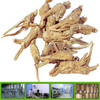100% Natural Dong Quai extract GMP factory Dong Quai powder