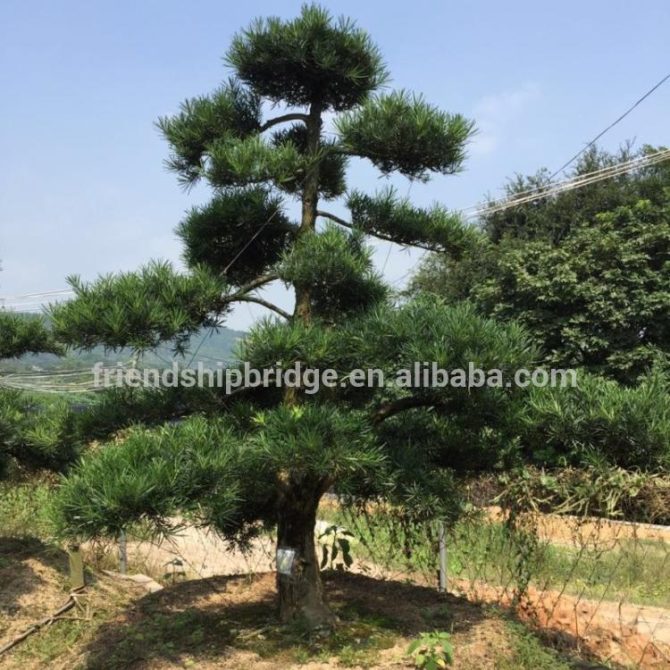 Bonsai Tree Podocarpus Bonsai