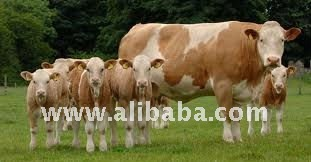 Simmental cattle, Limousine cattle, Charolais cattle, Live cattles, baby bull, baby cow