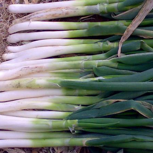 High Yield Cold Disease Resistant shallot Super Green Chinese Onion Seeds