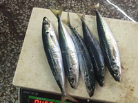 new frozen Round Scad fish mackerel fish 80-120g