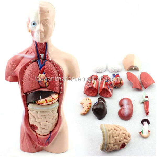 Custom Made 3d Human Body Anatomy Model Anatomic Model Manufacturer
