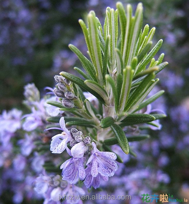 Organic Rosemary Essential Oil, Rosemary Extracts,Rich in Carnosic Acid