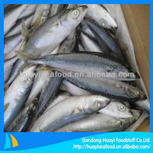 frozen pacific mackerel Scomber Japonicus with perfect price