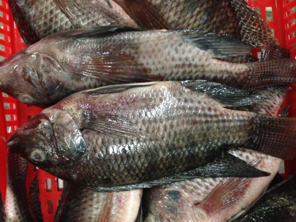Gutted and Gilled Frozen Black Tilapia Fish