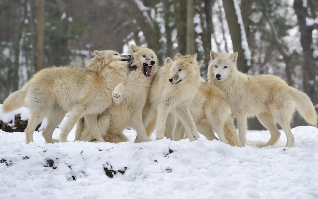 wolves snow winter forest flock 4-Size Wall Decor Canvas  Poster Print