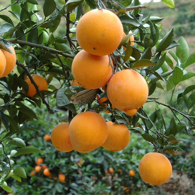Best Quality Grade A Fresh Orange Fruit Price