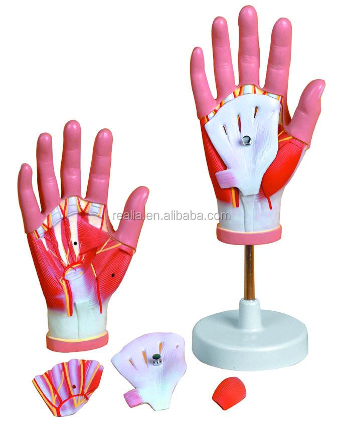 Regional Anatomy Of Hand Model Buy Hand Modelplastic Hand Model