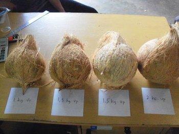 Semi Dehusked Coconut - Buy Fresh Coconuts Semi Husk Product on Alibaba com