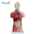 Good Price 42cm Human Torso Model Male Torso Model