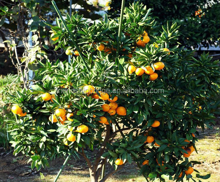 fresh seedless sweet orange tree seedling