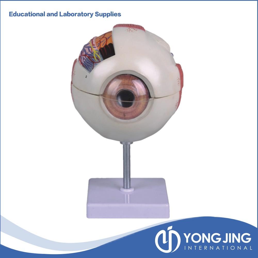 Plastic Human Eye Anatomy Model For Teaching - Buy Plastic Eye Model ...