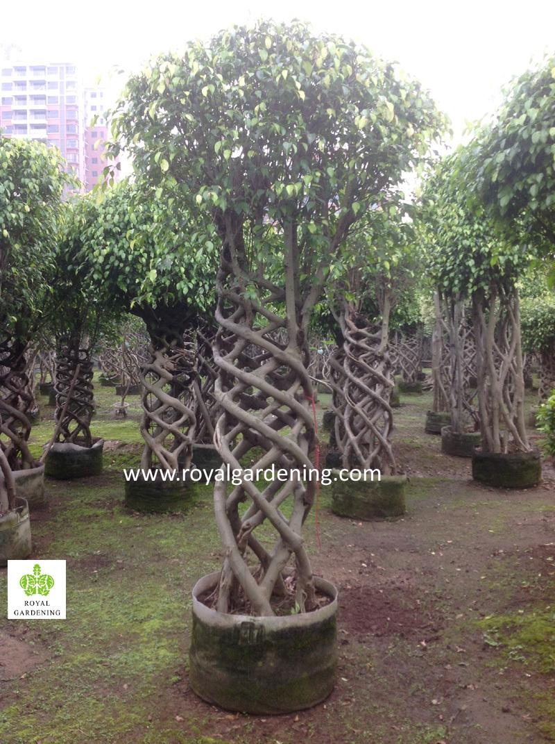 Ficus Cage Nursery Topiary Tree