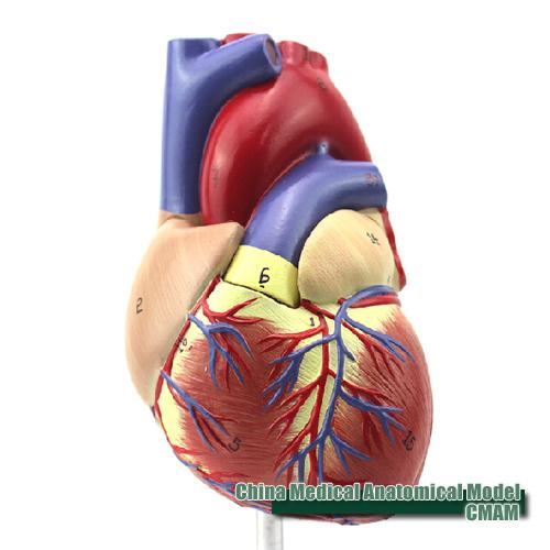 Cheap Anatomy Models For Children Find Anatomy Models For Children