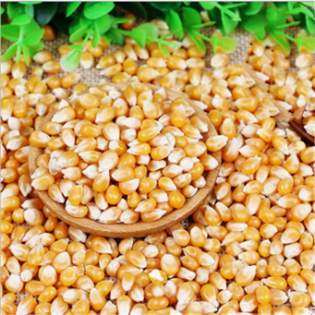 Yu mi Disease resistance high quality yellow maize <strong>corn</strong> with best price