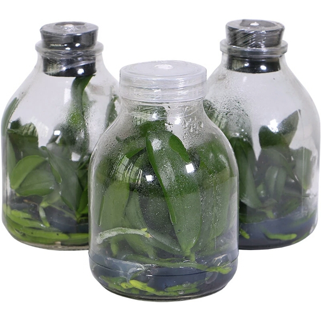 Orchid Phalaenopsis tissue culture flask seedlings for sale