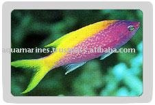 Purple Coral Perch Fish Live Marine Aquarium Fish