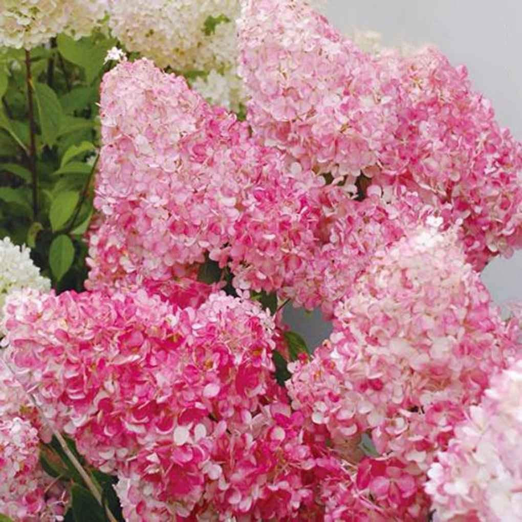 Cheap planting flower seeds outdoors find planting flower seeds get quotations cocoray 20pcsbag beauty strawberry hydrangea flower seeds for home garden planting seeds izmirmasajfo