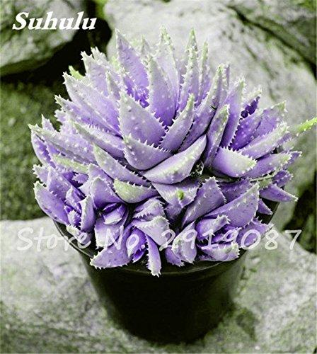 ECHINOFOSULOCACTUS MIXED VARIETY mix stenocactus brain cactus rare seed 50 SEEDS