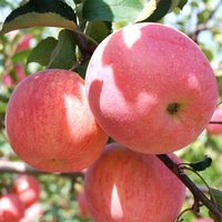 2019 new fresh fruits red Fuji apples