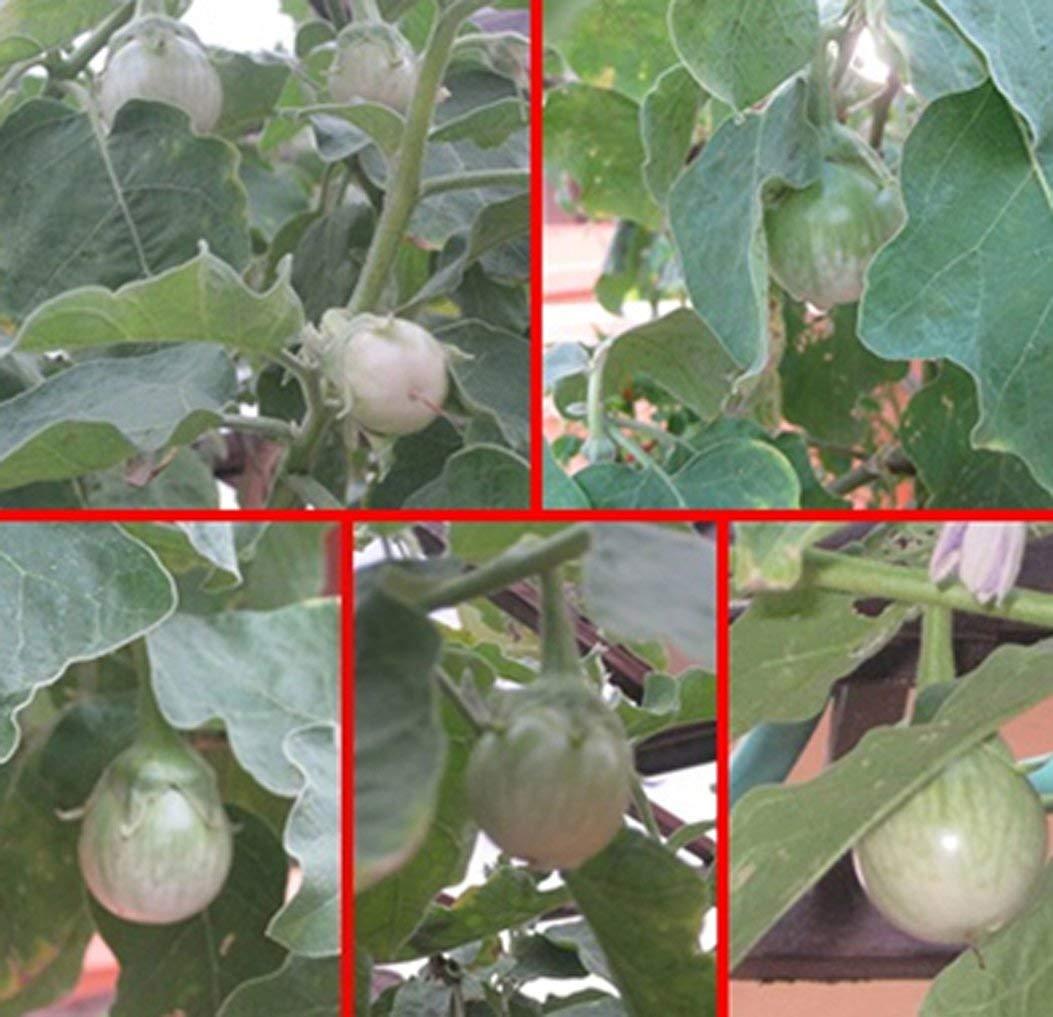 Eggplant Seeds Thai Eggplant Seeds Round Eggplant Chao Phaya Seeds มะเขือเจ้าพระยา 240 Seeds/pack