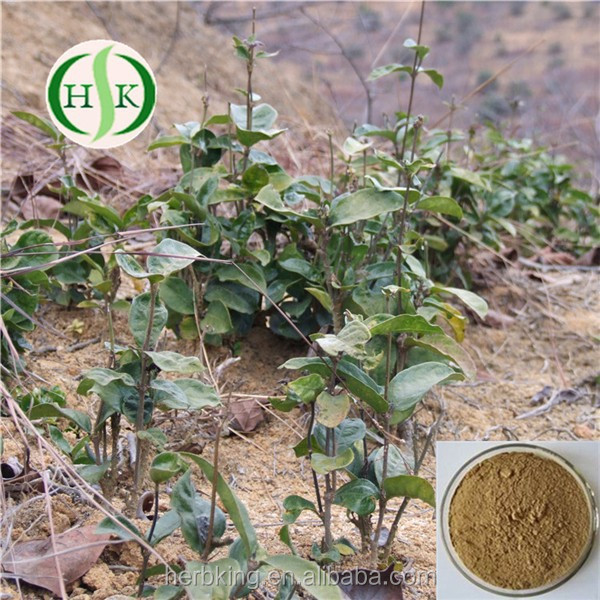 high quality radix morinda officinalis extract