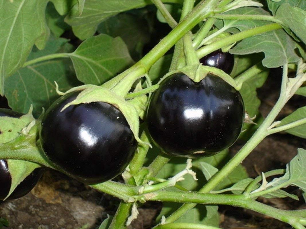Brinjal Black Round Eggplant Seeds - Very vigorous and very tasty!!!(10 - Seeds)