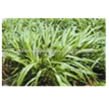 Tropical and subtropical Perennial Pennisetum Forage Seed
