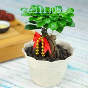 online kaufen gro handel ficus bonsai pflanze aus china ficus bonsai pflanze gro h ndler. Black Bedroom Furniture Sets. Home Design Ideas