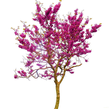 Touchhealthy supply Chinese redbud seeds for planting
