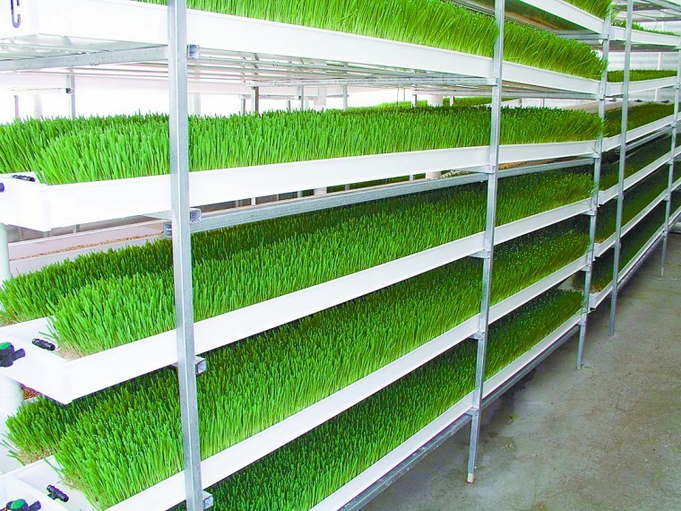 Hydroponic Fodder Cattle Horse Rabbit Sheep Feed Sprouting