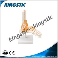 Life Size Foot Joint with Ligament,Foot skeleton model for sell