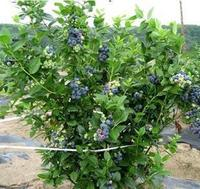 High Quality Blueberry Tree Seeds For Planting