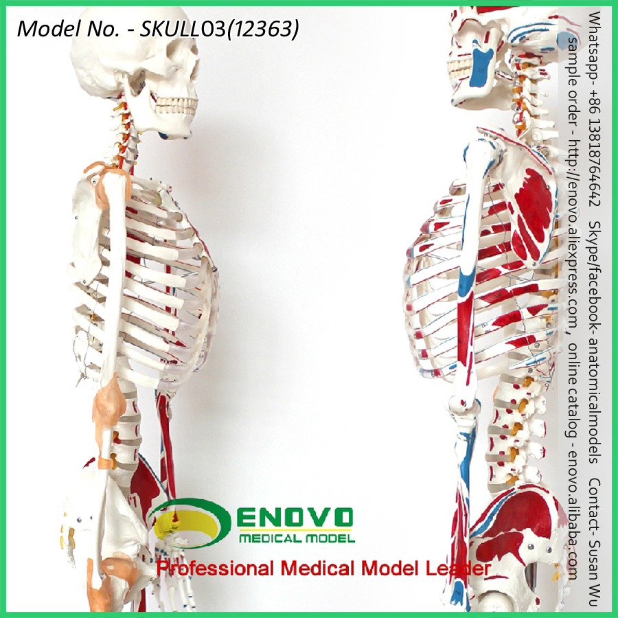 Super September Sell 12361 170cm Life Size Man Human Anatomical ...