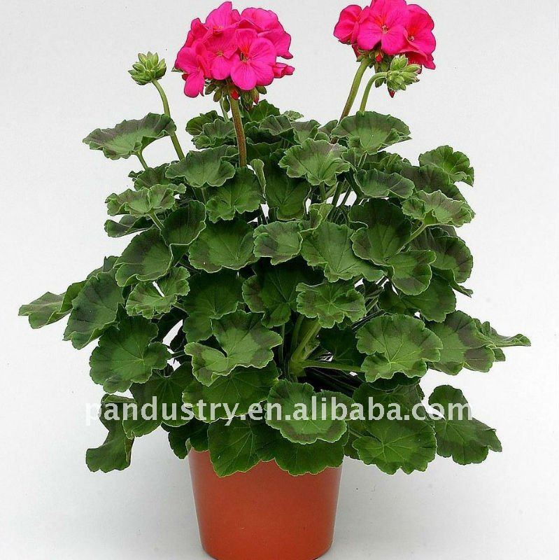 95 tc 5 wp ornamentales plantas uniconazol regulador del for Plantines ornamentales